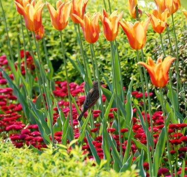 Sparrow among orange tulips