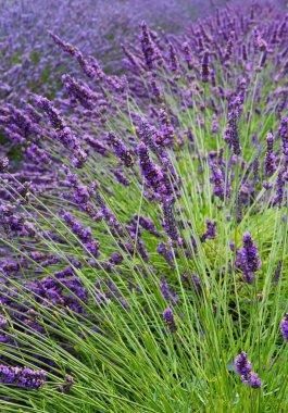 Lavender Field Vertical Near
