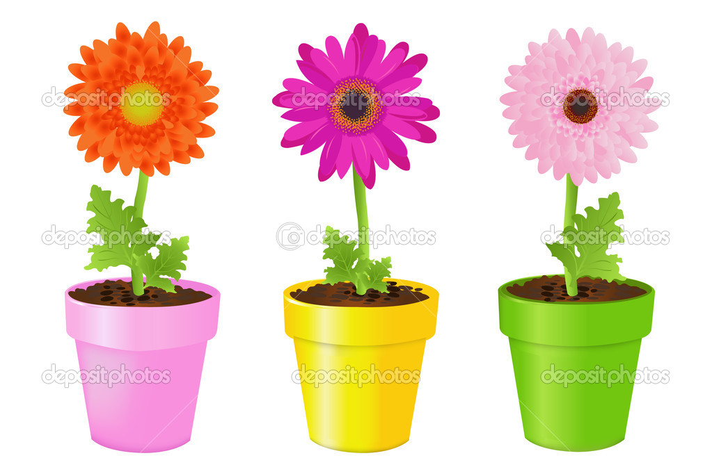 Colorful Daisies In Pots