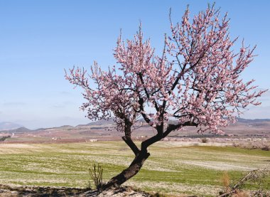Lone Almond Tree in Bloom