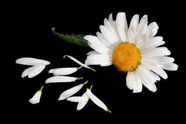 Flower petals and daisy