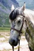 Fotografie portrét šedý kůň