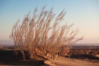 Shrub Saxaul (Haloxylon) in sand desert
