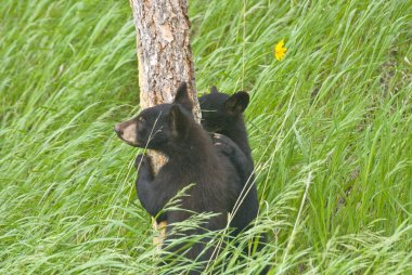 Bear Cubs and Wavy Grass