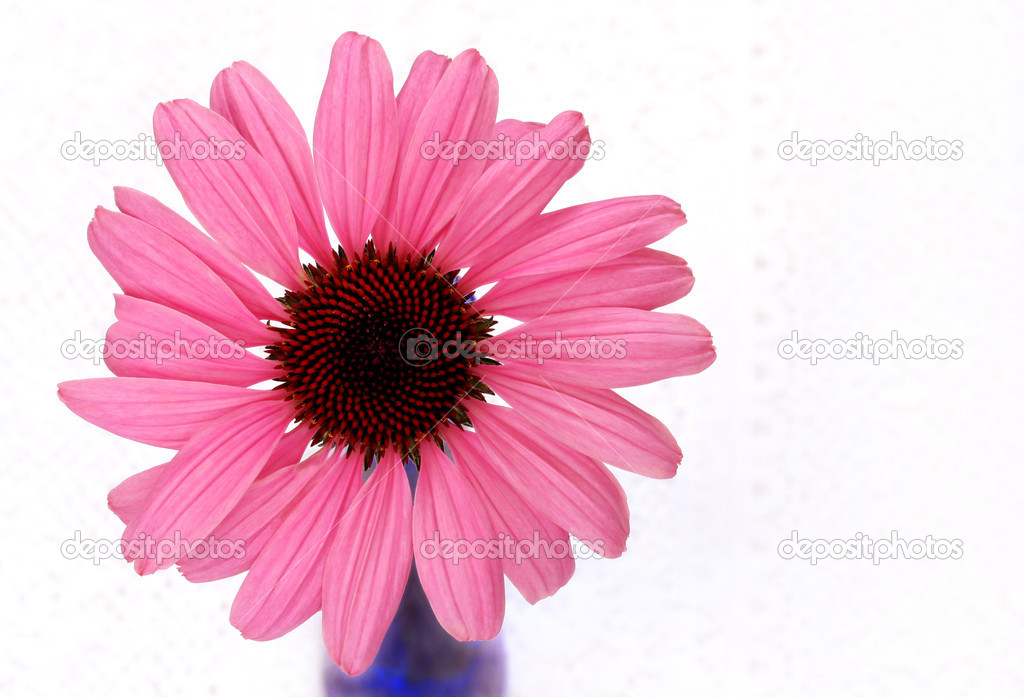 Beautiful Pink Cone Flower