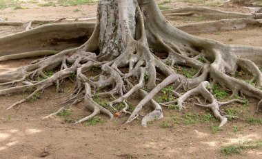 Roots of the old tree