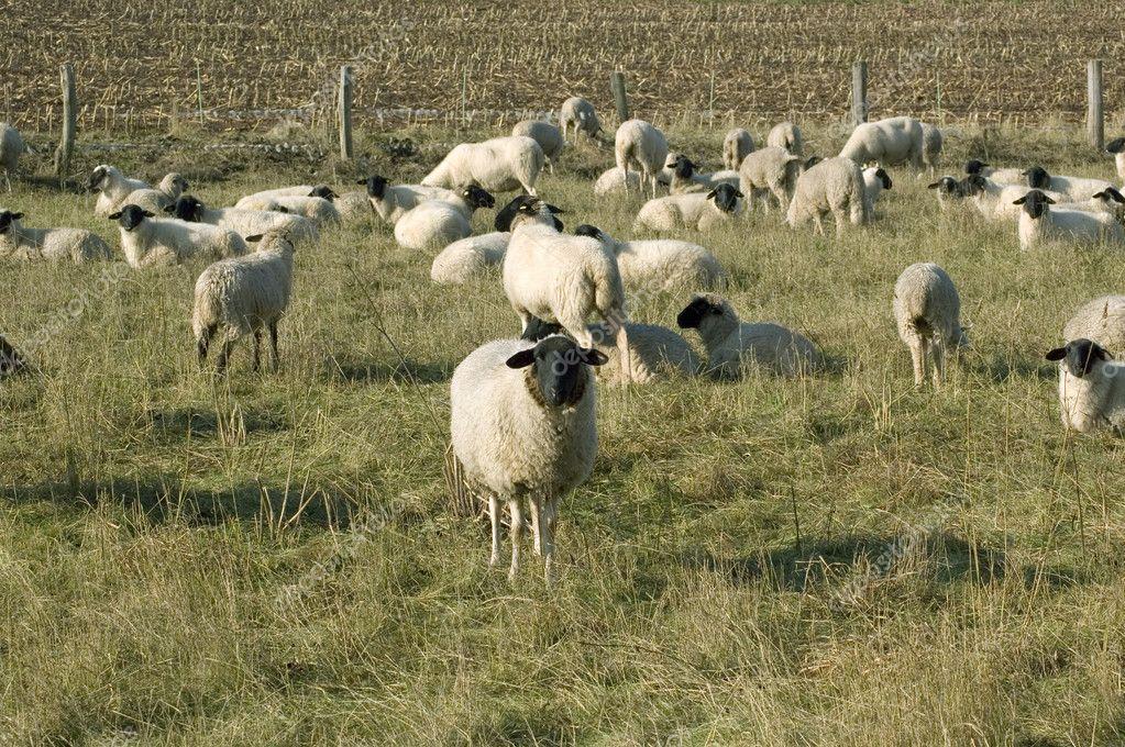 Sheep graze.