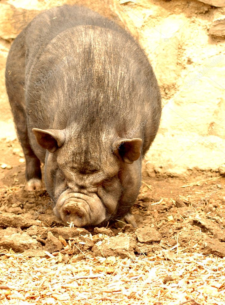 Pot-bellied pig.