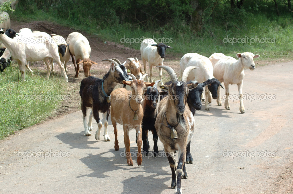 Goats are the leaders of sheeps
