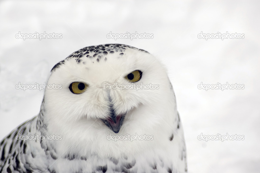 Snowy Owl Laughs Stock Photo Murysia 2987684