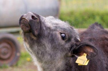 Portrait of a calf.