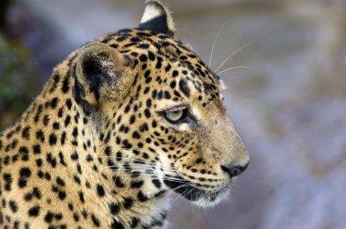 Leopard's stare.
