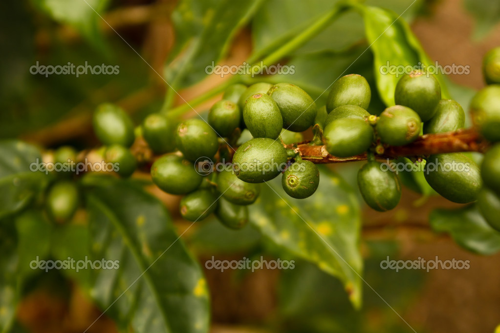 Coffee plants to mature