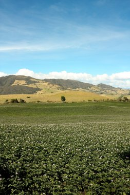 Potatoes in bloom. Andean mountains