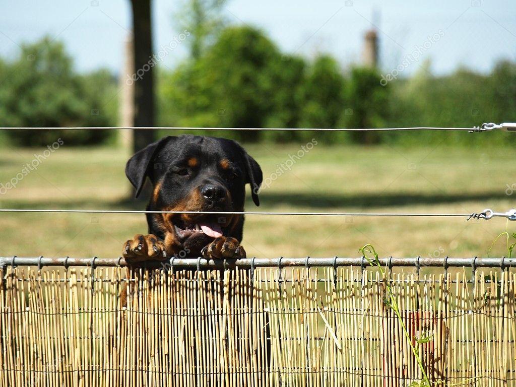 Watchful rottweiler
