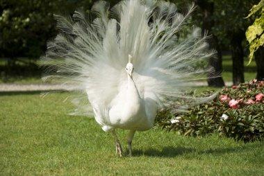 Isola bella, white peacock