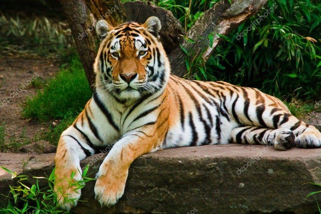Siberian tiger (Panthera tigris altaica) — Stock Photo © Jearud ...