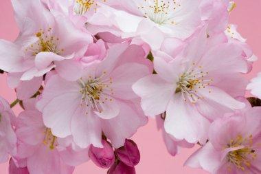 Cherry Blossom Close Up 3