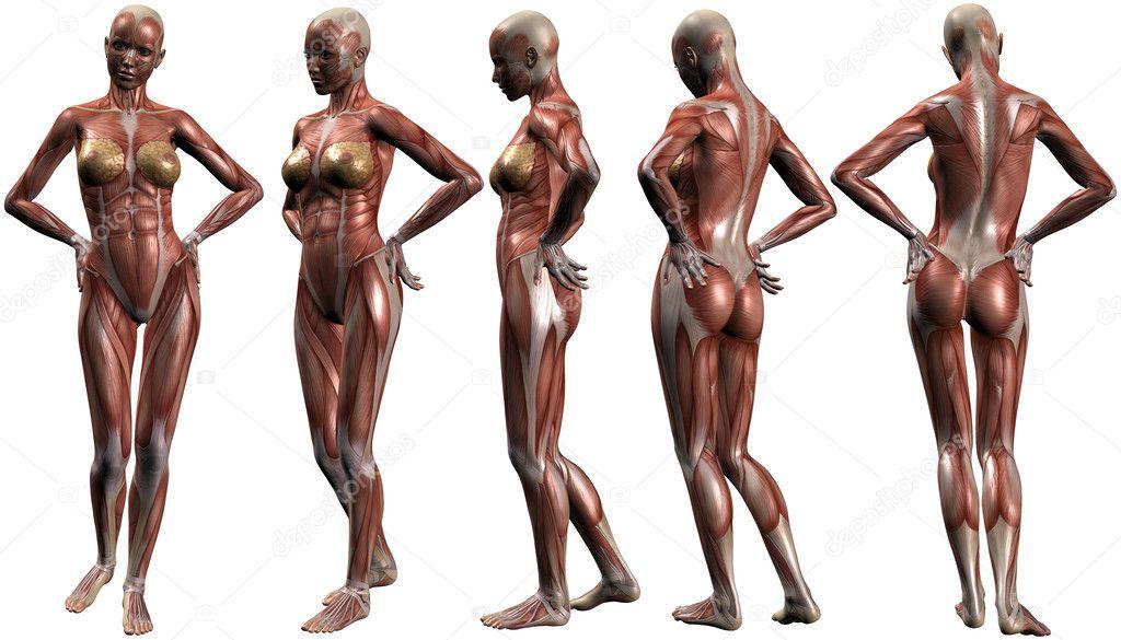 weibliche menschliche Körper-Anatomie — Stockfoto © Digitalstudio ...