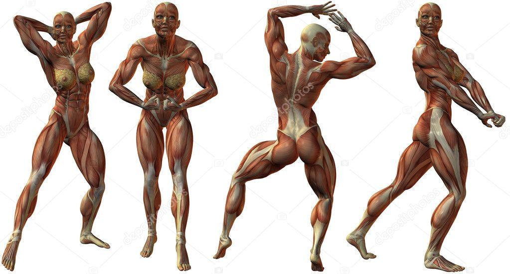 Female Human Bodybuilder Anatomy Stock Photo Digitalstudio 2858685