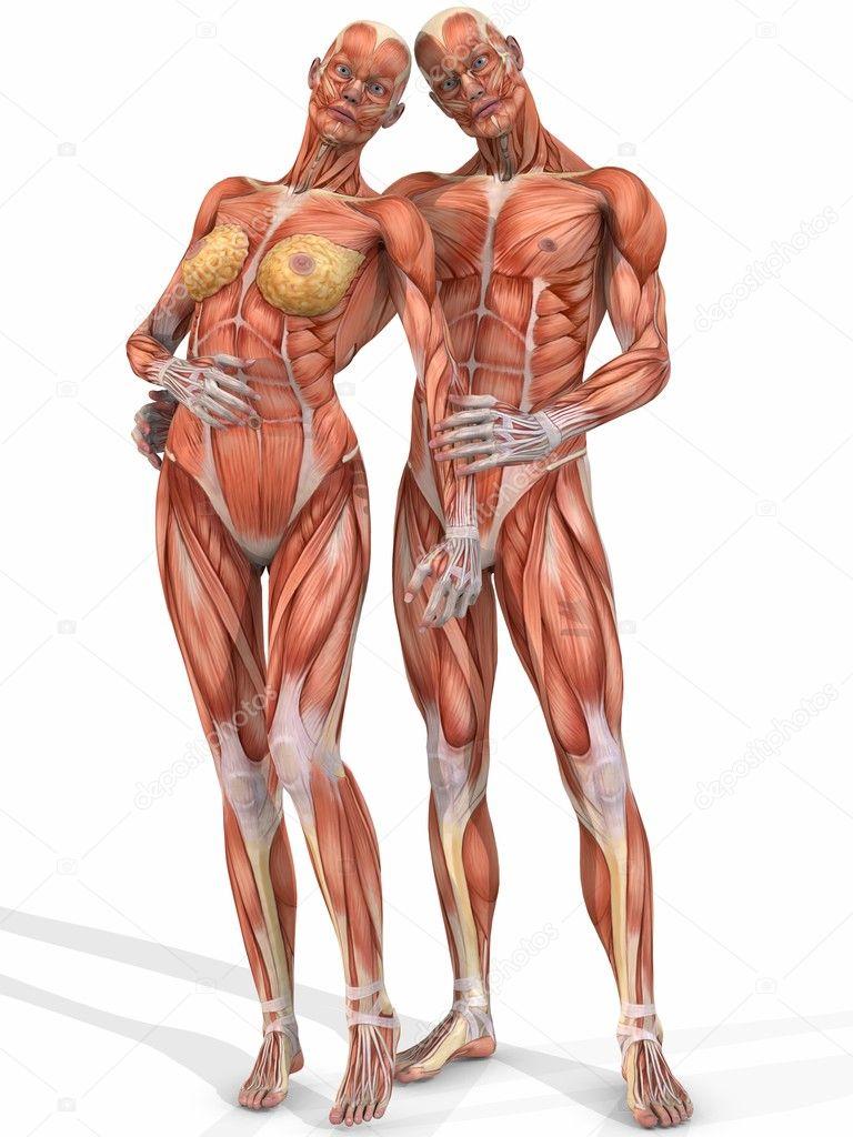 Weibliche Und Mnnliche Anatomische Krper Paar Stockfoto