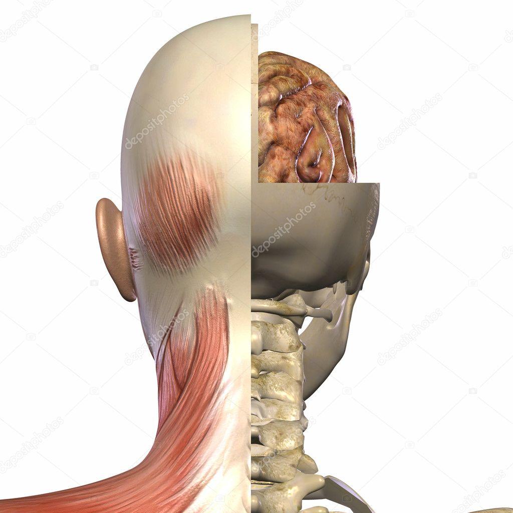 weibliche Anatomie Körper — Stockfoto © Digitalstudio #3006594