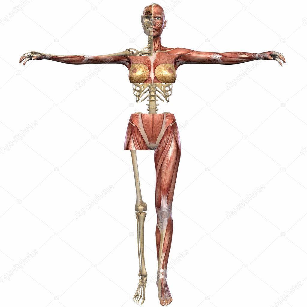 cuerpo de anatomía femenina — Foto de stock © Digitalstudio #3006600