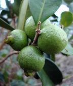unrip jahodový kvajávy