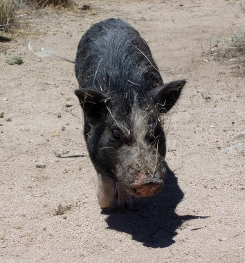 Pig in the desert wags his tail all covered in sticks