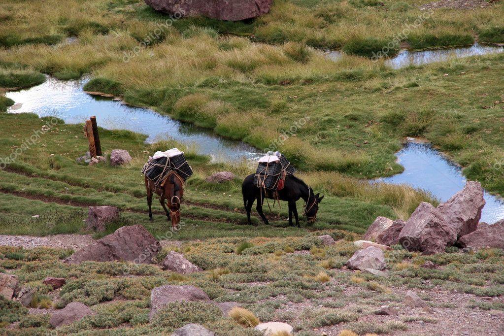 Aconcagua Mules