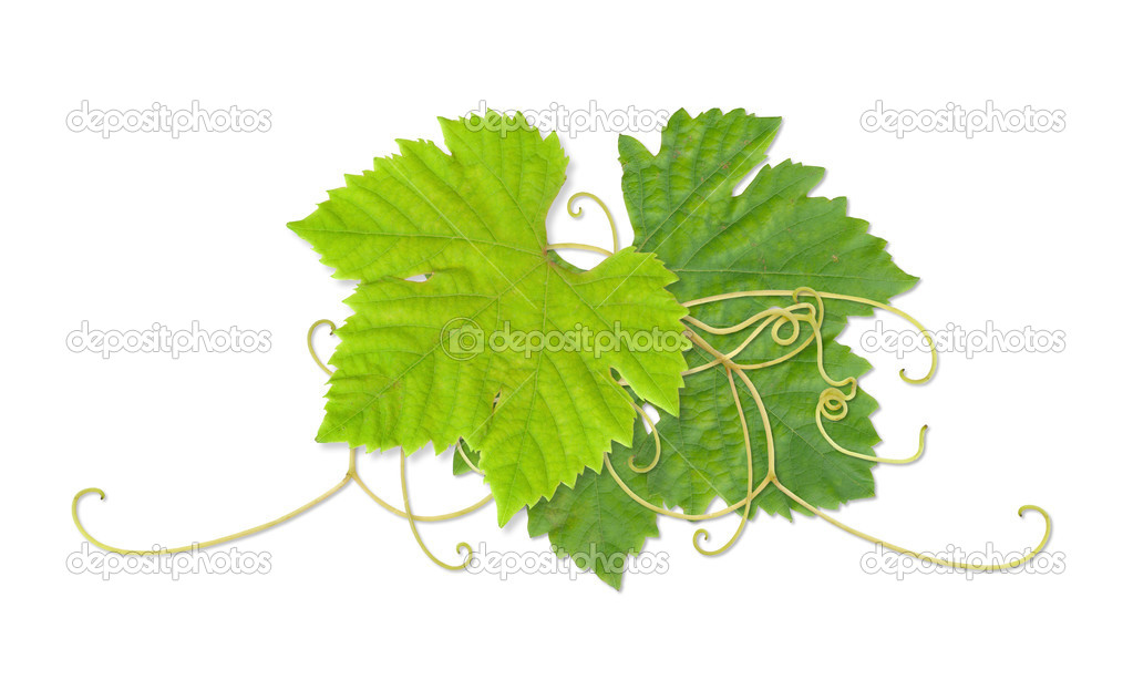 Grape leaves 03