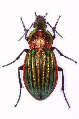 Carabus nitens ground beetle