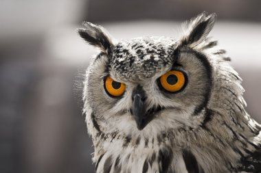 Hypnotic owl