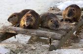 Fotografie Group Of Beavers