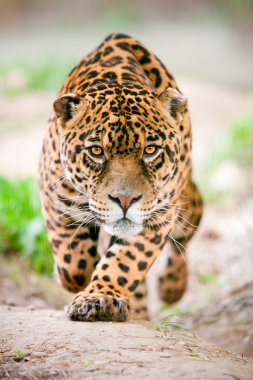 Aggressive Wild Jaguar Coming To Get You