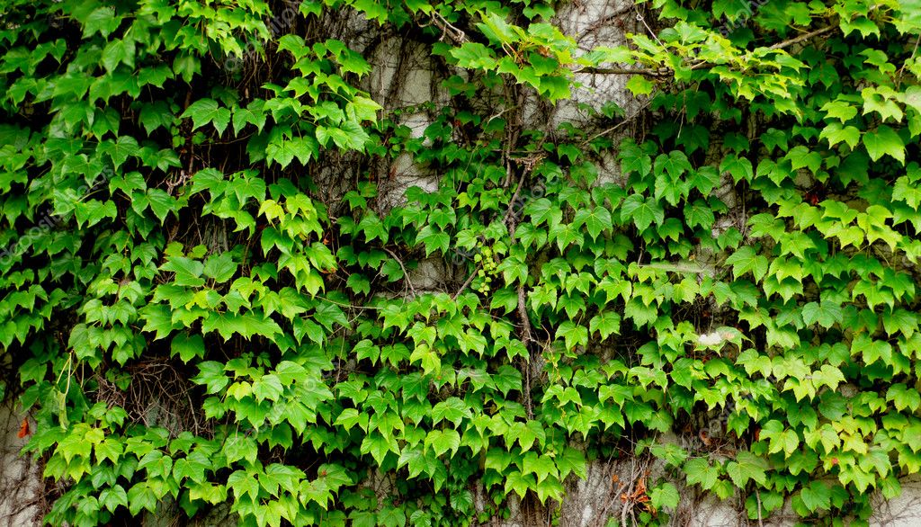 Old ivy wall