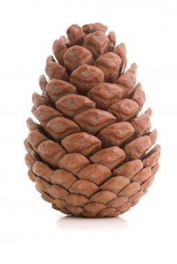 Great fir cone.