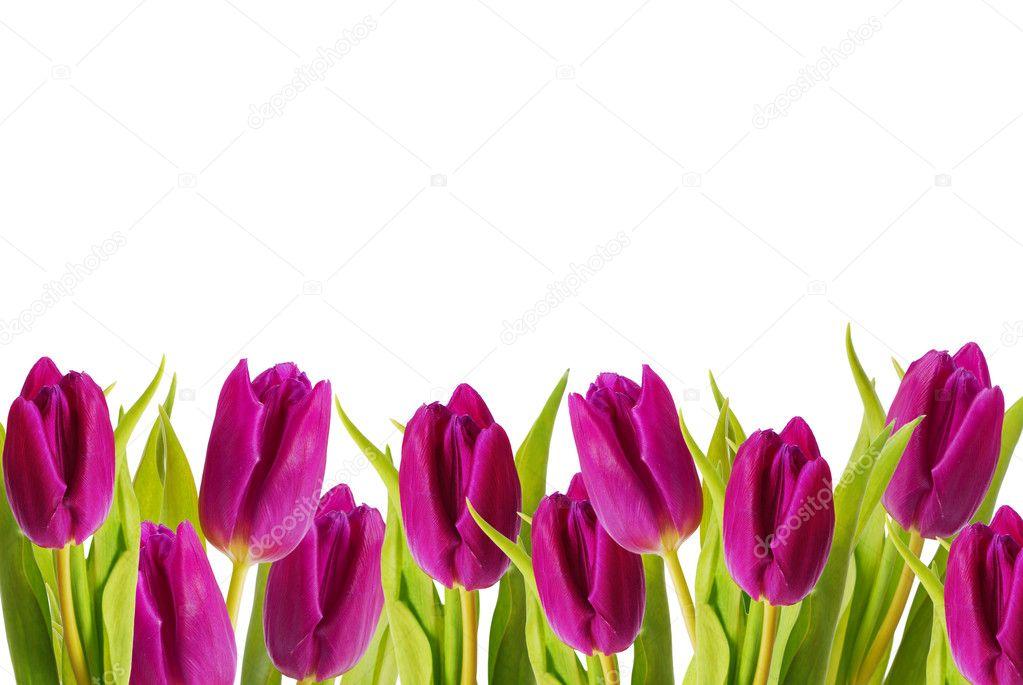 Purple tulips frame