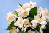 Fotografie Jasmine flowers