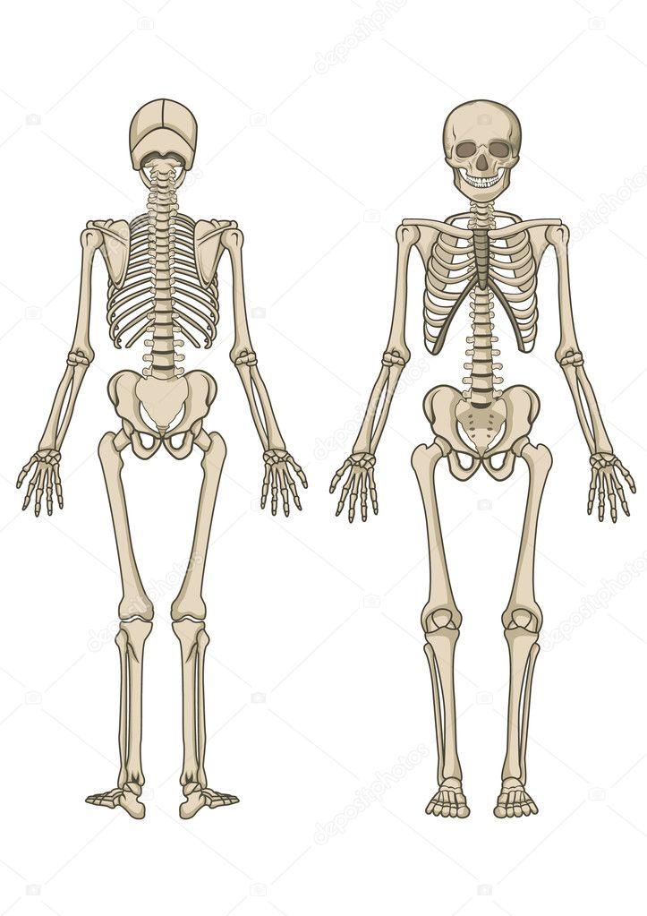 Human skeleton in vector