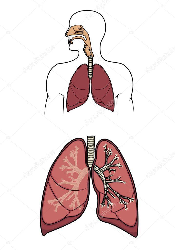sistema humano respiratorias en vector — Vector de stock © dinictis ...