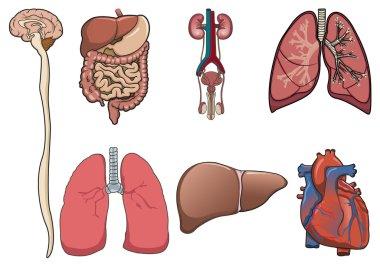 Human organ in vector