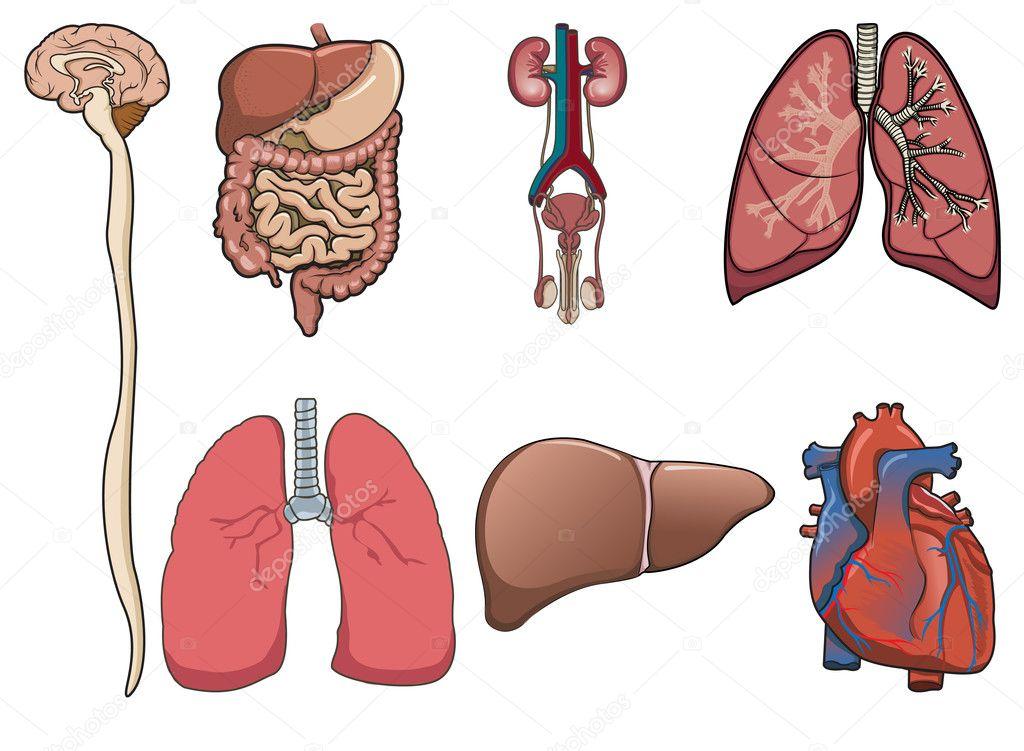 órganos humanos en vector — Archivo Imágenes Vectoriales © dinictis ...