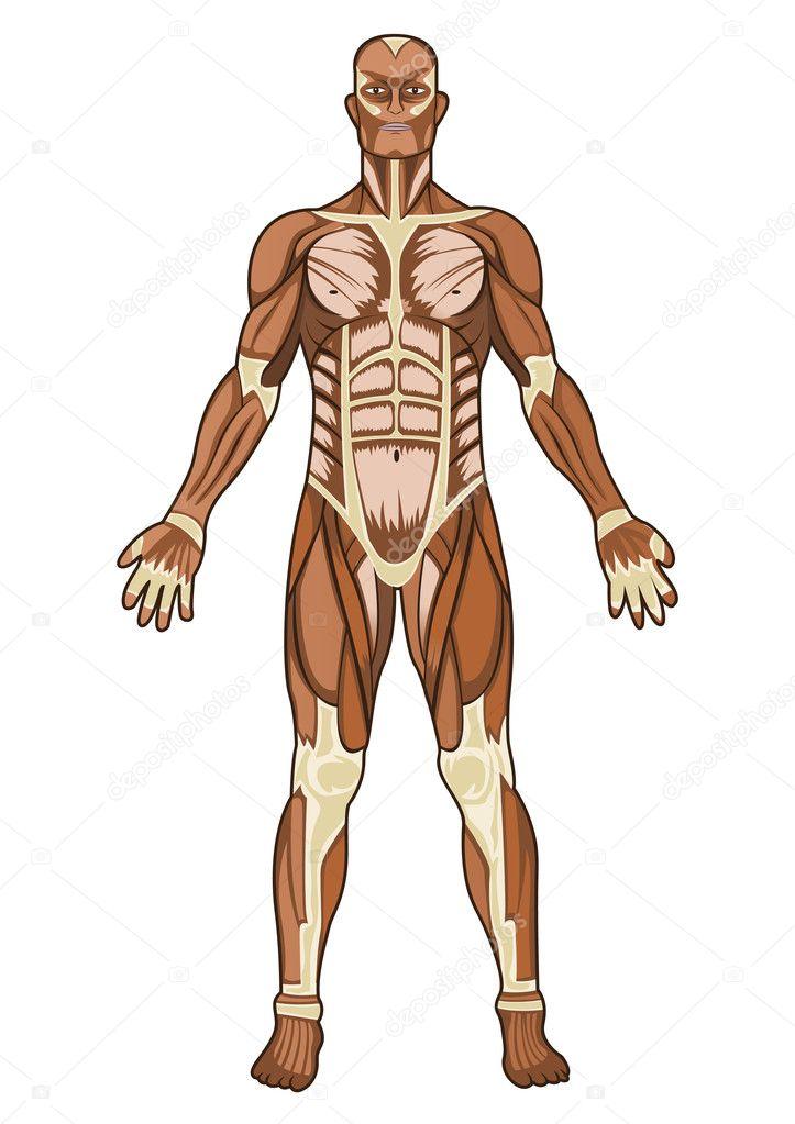 menschliche Anatomie in Vektor — Stockvektor © dinictis #3150407