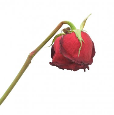 Dried rose, isolated