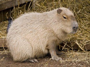 Cute capybara rodent against a straw bac