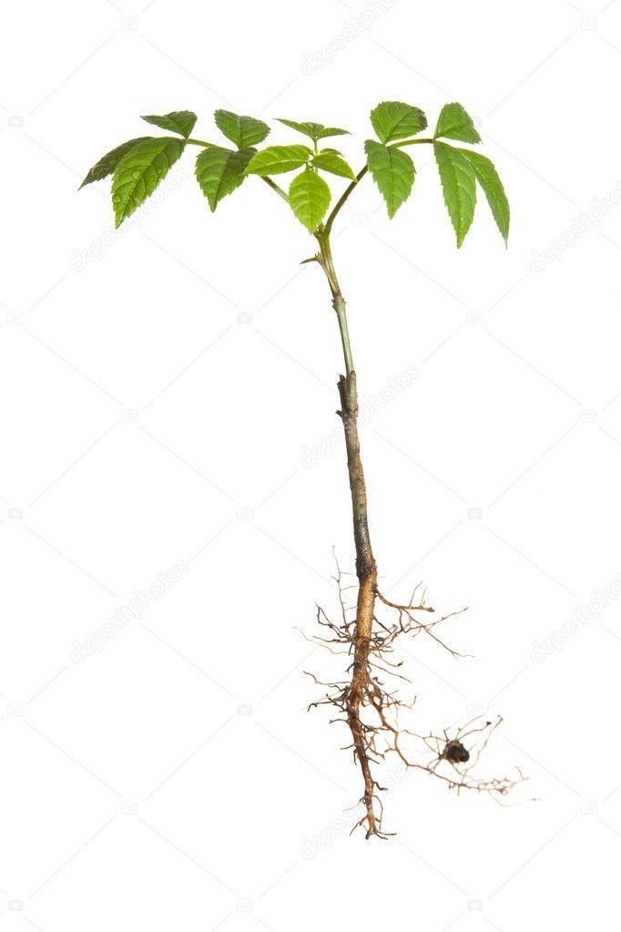 isolierte pflanze mit wurzeln stockfoto mathom 3076566. Black Bedroom Furniture Sets. Home Design Ideas