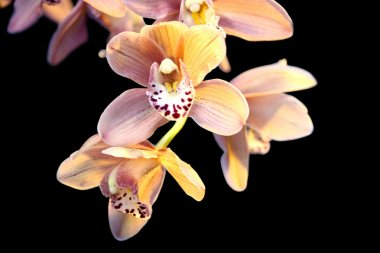 Orchids against the black background