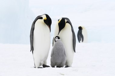 Emperor penguin family
