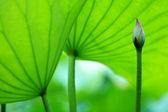 Fotografie die Blüte von Lotus und Blättern